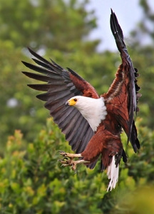 African Fish Eagle Landing: African Fish Eagle going for the landing - great pose