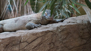 Komodo Dragon Basking: Komodo Dragon sat on rock basking with plants slightly hiding its face. Taken at Chester Zoo.