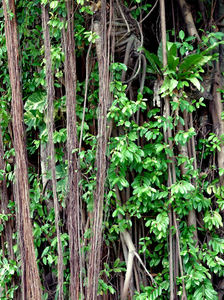 banyan background2