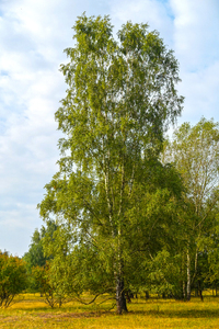 tall birch tree