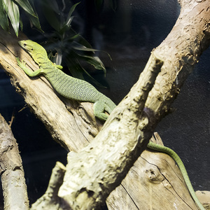 Monitor lizard: A green tree monitor lizard (Varanus prasinus) in a zoo in England at which photography was freely permitted.