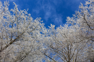 snow covered treetops 2