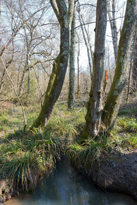 Woodland stream: A stream surrounded by pendulous sedge plants (Carex pendula) in woodland in Sussex, England, in early spring.