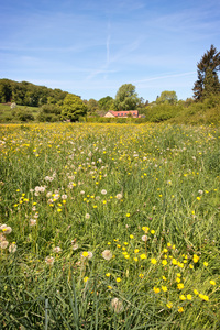 Buttercup meadow: A meadow of buttercups (Ranunculus) and dandelion clocks (Taraxacum) in Hampshire, England, in spring.