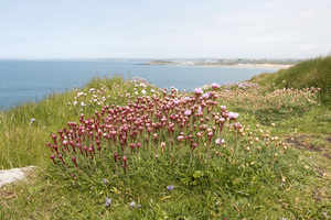 Wild spring flowers: Wild thrift (Armeria maritima) on the coast of Cornwall, England, in May.
