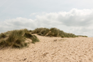 Sand dunes: Sand dunes with marram grass (Ammophila) on a beach in Cornwall, England.