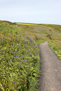 Coastal footpath: A footpath alongside coastal bluebells (Hyacinthoides non-scripta) in Cornwall, England, in spring.