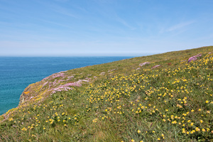Wild flower headland: Wild spring flowers on a headland on the coast of Cornwall, England.