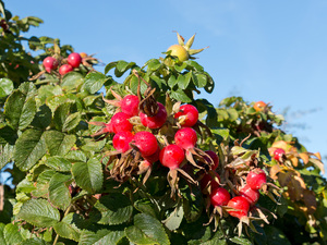Wild rose hips: Wild rose hips, with morning dew, on the coast of Sussex, England, in autumn.