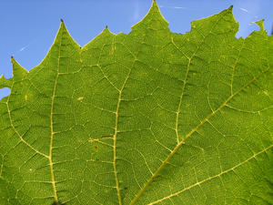 leave: a grape leave in the warm sunshine.No it is not the south of France; it is the Netherlands!