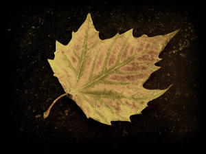 leaf: autumn leaf