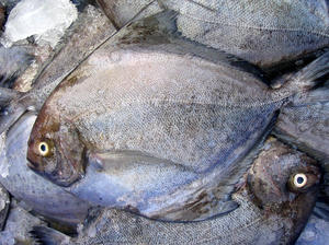 Black Pomfret: black pomfret at the local market