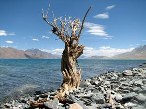 Dry Bush along the Pangong Lak