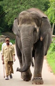 Elephant and Mahoot