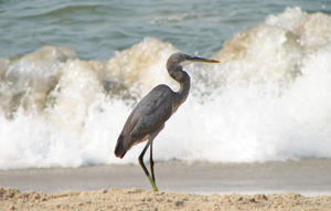 Heron: A Reef Heron on the Beach, Hunting for crabs & fish