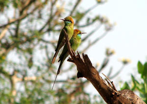 Bee-eaters: No description