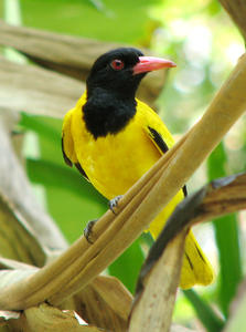 Golden Oriole: No description