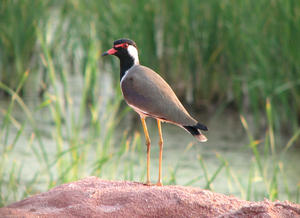 Lapwing