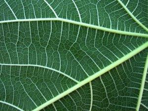 adams leaf 3