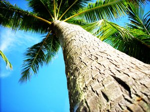 Coconut tree bark: Coconut trees really all look the same - until you feel the bark.Taken in Hawaii.