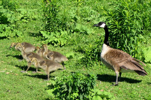 Canada Geese 2: Canada Goose protecting her babies.  Please let me know if you are able to use my pictures for something.Even if it's something small --I would be absolutely thrilled to know if they came in useful for anyone!