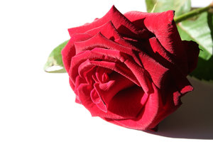 red rose: a red rose on a white background