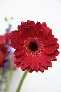 bright red gerbera