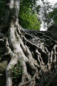 Roots: Long surface roots of a large beech (Fagus sylvatica) tree growing over sandstone rocks in East Sussex, England.