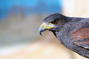 Falcon (head).