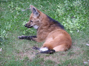 Red Wolf (Maned wolf)