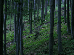 Mountain forest (on the hillsi