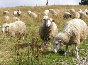 Sweet sheeps