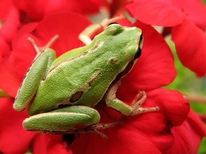Green frog: Macro shot of a green frog standing on a red flower