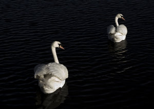 Dark Lake: Mute swans lit by low sunlight, swimming on shadowed lake..