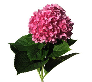 single hortensia  2