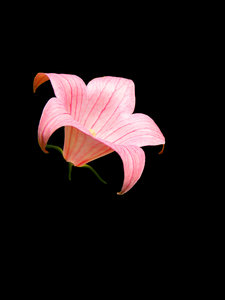 Pink Lily -- Black Background
