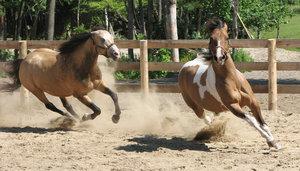 Horses at play 2