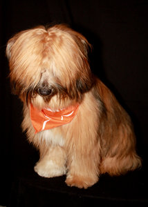 Tibetan Terrier 1