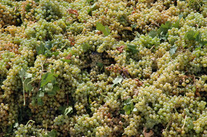 Grapes: Pedro Ximenez grapes for sweet wine.