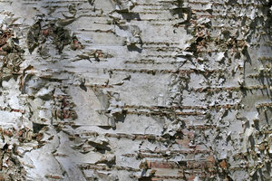 Birch bark: Bark of a silver birch (Betula) tree in Denmark.