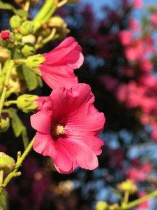 pink alcea