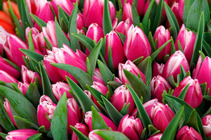 Bunches of Tulips 3: Tulips for sale at a market in Seattle, Washington.