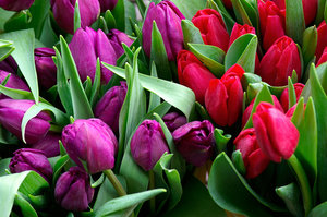 Bunches of Tulips 1