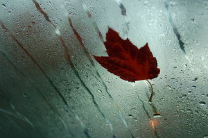 Maple leaf on windshield