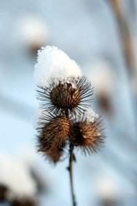 Teasel and snow 2: thistle, at winter