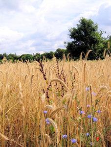 ripe organic rye field
