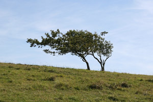 Windswept trees: Windswept small trees on the South Downs, West Sussex, England, in summer.