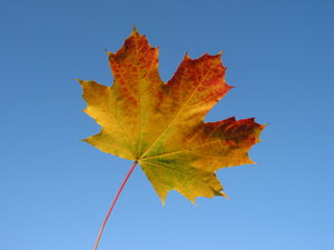 autumn leaves and blue sky 5: Maple leaf, a beautiful day in Lund, Sweden. My Autumn Theme photos:http://www.sxc.hu/browse. ..