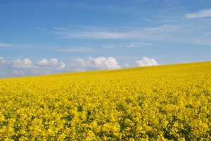 Yellow fields 1
