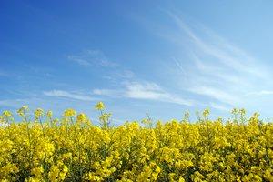 Yellow fields 3